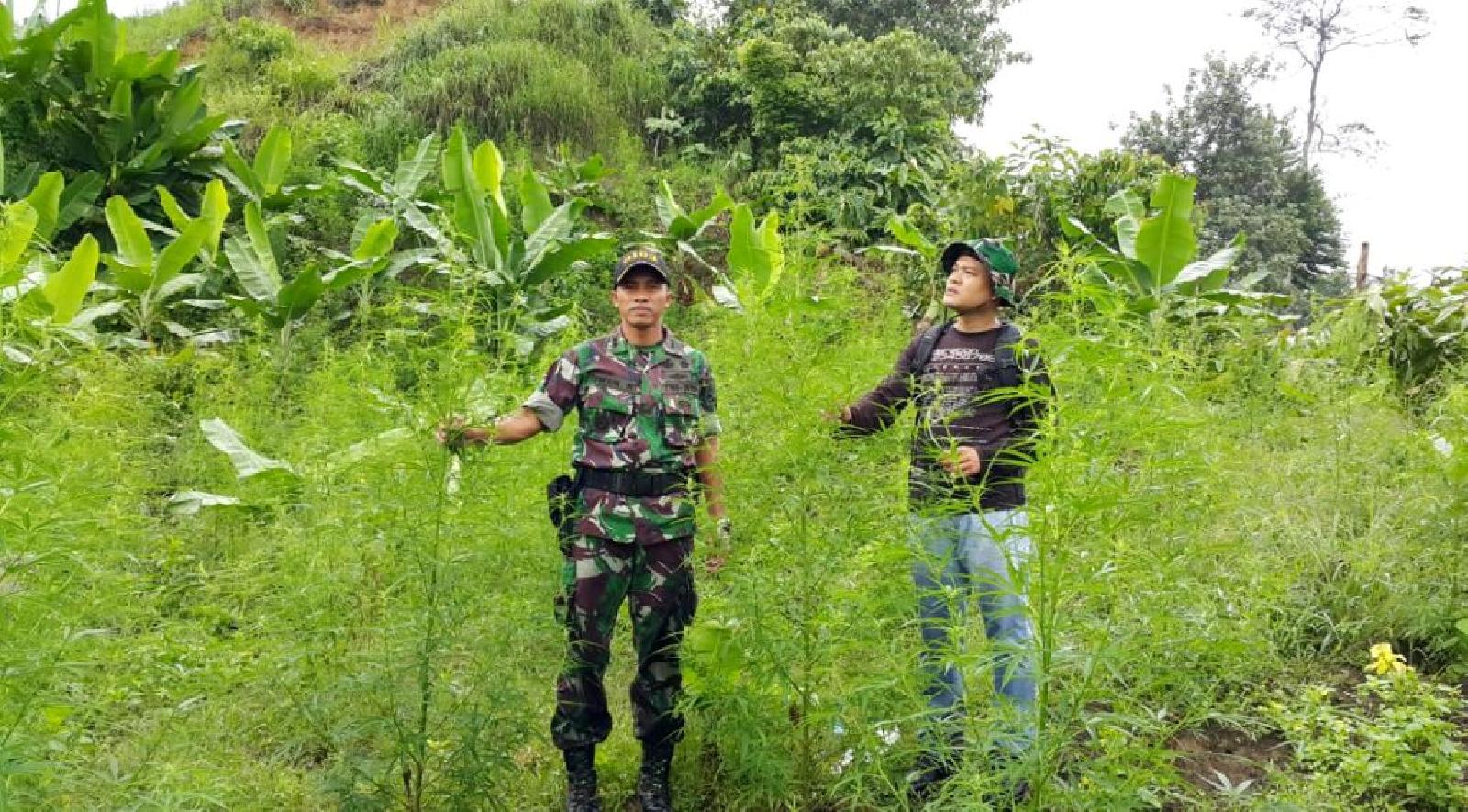 Penemuan Ladang Ganja oleh Kodim di Aceh Utara (foto: acehonline)