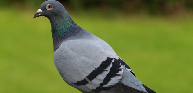 Ilustrasi (foto: birdcontrolblog.com)