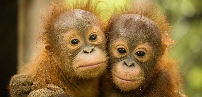 Orangutan (foto: orangutan.org.au)