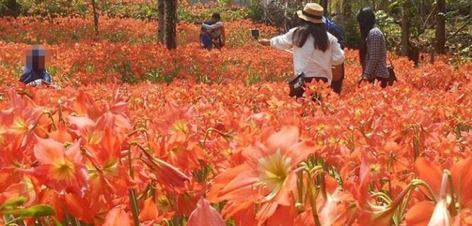 Kebun Bunga Amarylis di Gunungkidul (foto: Facebook)