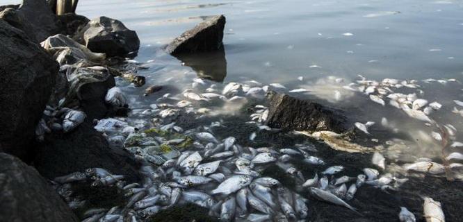 Ribuan ikan mati di Pantai Ancol (foto: beritagar.id)