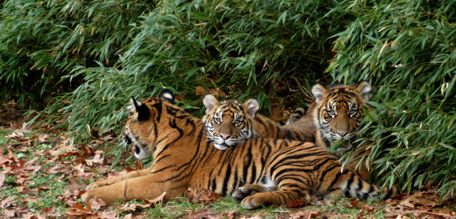 Harimau Sumatra (foto: gawker media)
