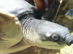Kura-kura moncong babi (foto: wikipedia)