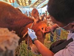Inspeksi sapi untuk kurban Iduladha 2016 (foto: Antara)