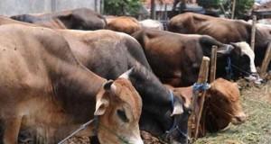 Ilustrasi sapi kurban (foto: jualansapi.com)