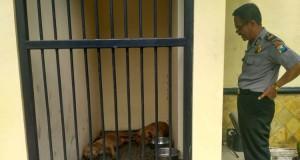 Dua Anjing Pitbull Serang Kakek Hingga Tewas (foto: Kompas)